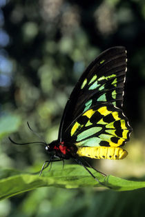 Cairns Birdw. Ornithoptera Priamus by Wolfgang Kaehler
