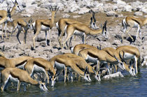 Springboks Drinking at Waterhole by Wolfgang Kaehler