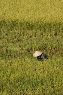 Farmer Harvesting Rice by Wolfgang Kaehler