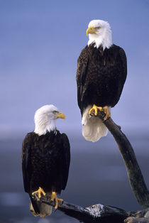 Bald Eagles Sitting on Log by Wolfgang Kaehler