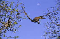 Ring-Tailed Lemurs Jumping From Tree to Tree von Wolfgang Kaehler