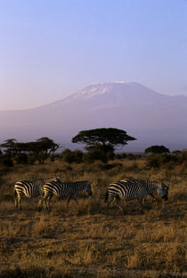 Zebras with Mt. Kilimanjaro In Background von Wolfgang Kaehler