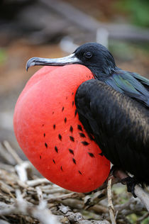 Great Frigate Bird Male with Inflated Throat Pouch von Wolfgang Kaehler