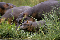 Hippopotamus on Land with Baby by Wolfgang Kaehler