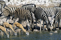 Zebras and Springbok Drinking at Waterhole by Wolfgang Kaehler