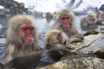 Snow Monkeys (Japanese Macaque) Sitting In Hot Spring von Wolfgang Kaehler