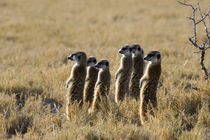 Group of Meerkat Warming Up In Morning Sunshine by Wolfgang Kaehler