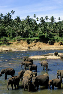 Elephants Bathing In River by Wolfgang Kaehler
