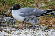 Swallow-Tailed Gull with Chick von Wolfgang Kaehler