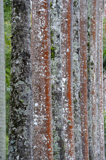Close-Up of Trunks Covered with Lichens von Wolfgang Kaehler