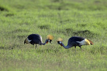 Crowned Cranes Feeding on Grass von Wolfgang Kaehler