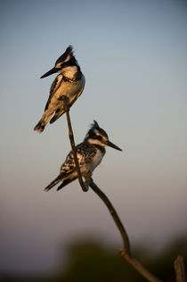 Pied Kingfishers (Ceryle Rudis) Sitting on Branch by Wolfgang Kaehler