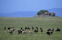 Plain with Migrating Wildebeeste and Zebras by Wolfgang Kaehler