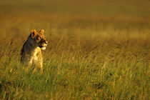 Lioness Sitting In Grass by Wolfgang Kaehler