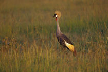Crowned Crane In Evening Light by Wolfgang Kaehler