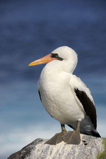 Nasca Booby (Sula Granti) by Wolfgang Kaehler