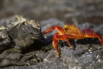 Marine Iguana and Sally-Lightfoot Crab (Grapsus Grapsus) by Wolfgang Kaehler
