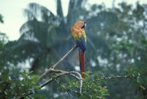 Rain Forest Upper Canopy with Macaw by Wolfgang Kaehler