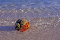 Hermit Crab on Beach by Wolfgang Kaehler