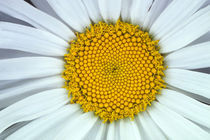 Close-Up of Daisy Flower by Wolfgang Kaehler