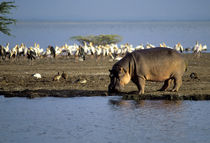 Hippopotamus Walking Along Shore by Wolfgang Kaehler