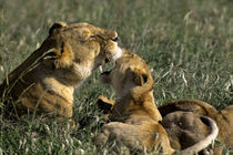 Lioness with Cubs von Wolfgang Kaehler