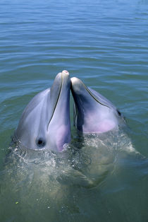 Atlantic Bottlenose Dolphins by Wolfgang Kaehler