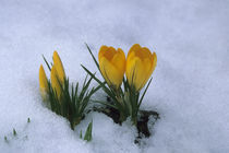 Crocus In Snow by Wolfgang Kaehler