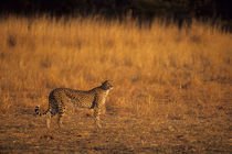 Cheetah In Evening Sunshine von Wolfgang Kaehler