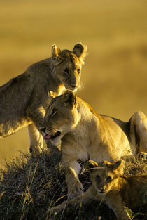 Lioness with Cubs on Hill by Wolfgang Kaehler