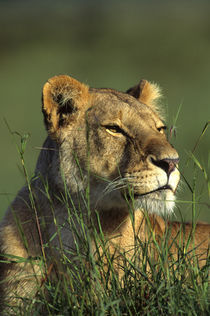 Portrait of Lioness Laying In Grass by Wolfgang Kaehler
