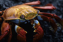 Close-Up of Sally-Lightfoot Crab by Wolfgang Kaehler