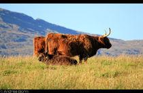 Higland cattle von and979