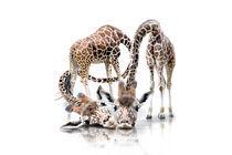 Giraffen-trsten-verk