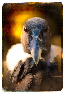 Finer Feathered Friends: Andean Condor von Alan Shapiro