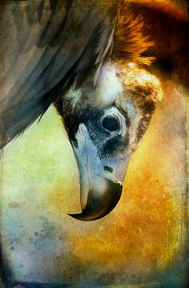 Finer Feathered Friends: Cinerous Vulture by Alan Shapiro