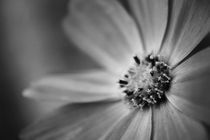 Fleur de Lune von Isabella Bauer