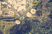 Roses von Diego Vongola