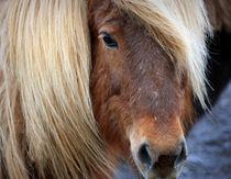 Icelandic Wild Horse by Kristjan Karlsson