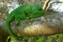 Iberian Chameleon von Jose Luis Ogalla Larramendi