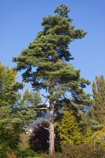 Tree by safaribears