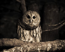 Curious Owl von Joanna Kapica