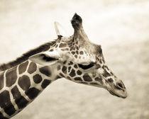 The Giraffe by Joanna Kapica