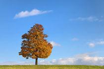 Ahorn im Herbst by Wolfgang Dufner