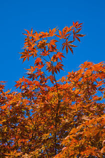 Autumn tree 2011 by safaribears