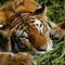 Tiger-geniesst-die-sonne-bearbeitet