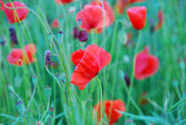 poppies von hannes cmarits