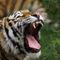 Tiger-brllt