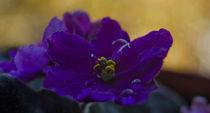 violet again by Vassil Vassilev