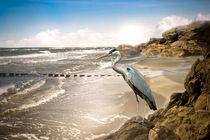 Strand-graureiher-1